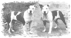 The first two members of their sex to claim championships in England were the bitch, Lady Eve (far left) and the dog, Gentleman Jim (near left) in 1939.
